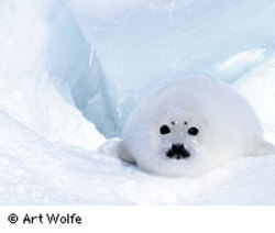 Wolfe_seal_1